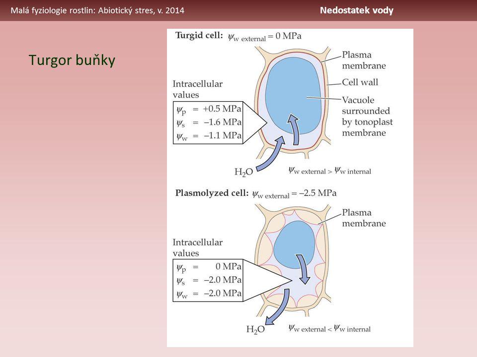 Turgor buňky Nedostatek vody