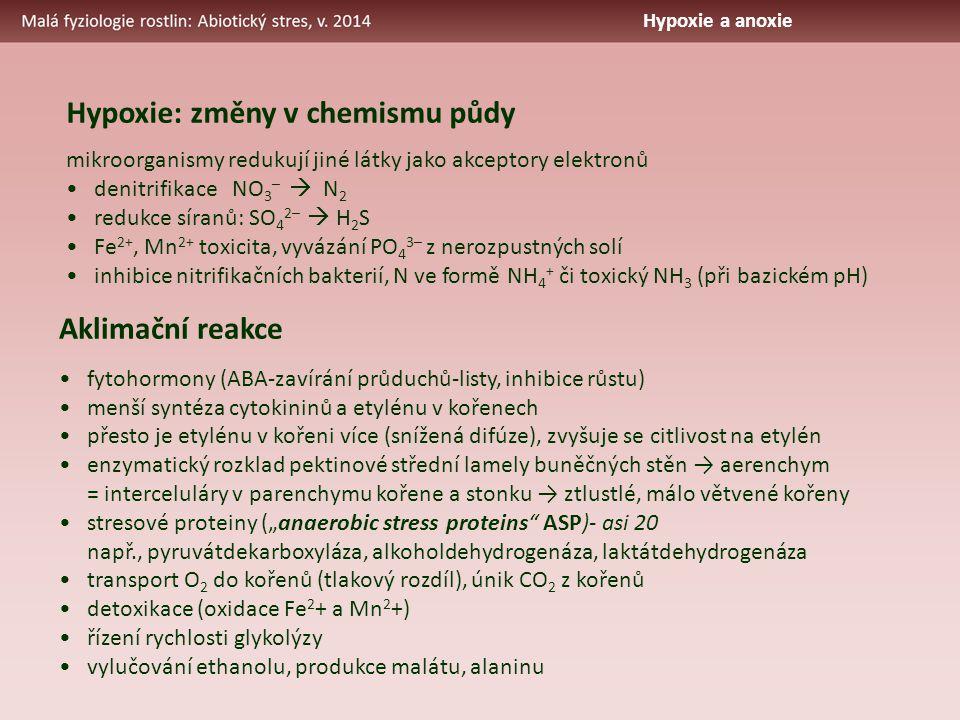 """Aklimační reakce fytohormony (ABA-zavírání průduchů-listy, inhibice růstu) menší syntéza cytokininů a etylénu v kořenech přesto je etylénu v kořeni více (snížená difúze), zvyšuje se citlivost na etylén enzymatický rozklad pektinové střední lamely buněčných stěn → aerenchym = interceluláry v parenchymu kořene a stonku → ztlustlé, málo větvené kořeny stresové proteiny (""""anaerobic stress proteins ASP)- asi 20 např., pyruvátdekarboxyláza, alkoholdehydrogenáza, laktátdehydrogenáza transport O 2 do kořenů (tlakový rozdíl), únik CO 2 z kořenů detoxikace (oxidace Fe 2 + a Mn 2 +) řízení rychlosti glykolýzy vylučování ethanolu, produkce malátu, alaninu Hypoxie: změny v chemismu půdy mikroorganismy redukují jiné látky jako akceptory elektronů denitrifikace NO 3 –  N 2 redukce síranů: SO 4 2–  H 2 S Fe 2+, Mn 2+ toxicita, vyvázání PO 4 3– z nerozpustných solí inhibice nitrifikačních bakterií, N ve formě NH 4 + či toxický NH 3 (při bazickém pH) Hypoxie a anoxie"""