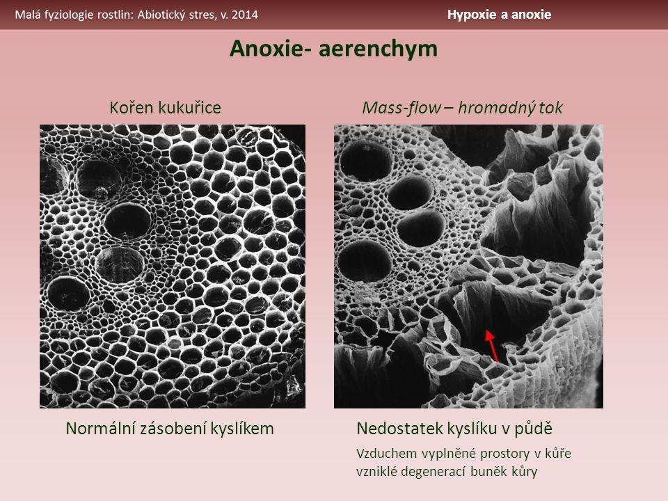 Anoxie- aerenchym Normální zásobení kyslíkem Nedostatek kyslíku v půdě Kořen kukuřice Vzduchem vyplněné prostory v kůře vzniklé degenerací buněk kůry Mass-flow – hromadný tok Hypoxie a anoxie