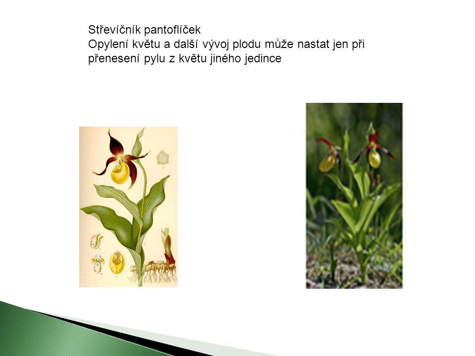 Střevíčník pantoflíček Opylení květu a další vývoj plodu může nastat jen při přenesení pylu z květu jiného jedince