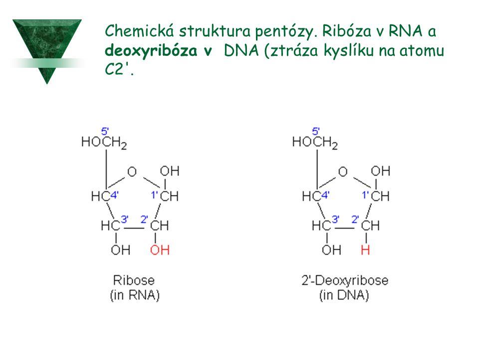 Chemická struktura pentózy. Ribóza v RNA a deoxyribóza v DNA (ztráza kyslíku na atomu C2'.