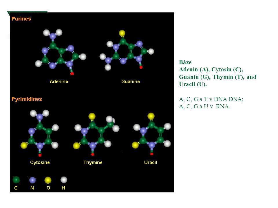 Báze Adenin (A), Cytosin (C), Guanin (G), Thymin (T), and Uracil (U). A, C, G a T v DNA DNA; A, C, G a U v RNA.