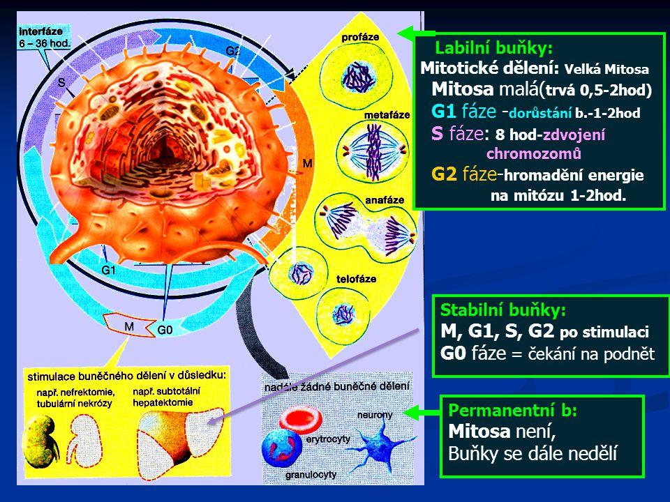 Labilní buňky: Mitotické dělení: Velká Mitosa Mitosa malá( trvá 0,5-2hod) G1 fáze - dorůstání b.-1-2hod S fáze: 8 hod-zdvojení chromozomů G2 fáze- hromadění energie na mitózu 1-2hod.