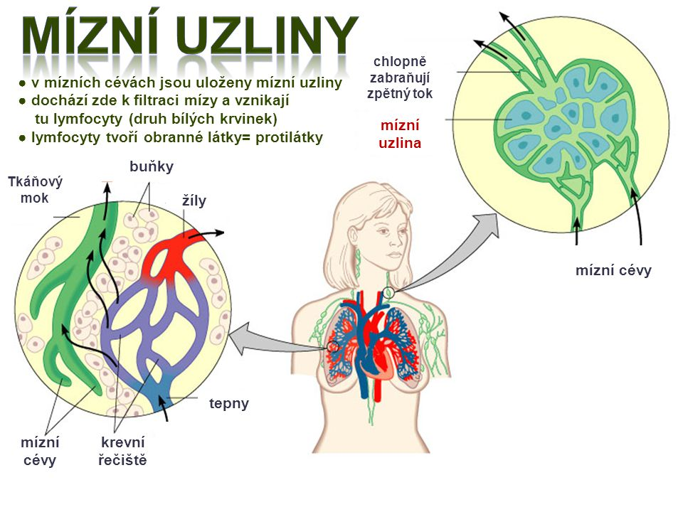 buňky Tkáňový mok žíly tepny krevní řečiště mízní cévy mízní cévy mízní uzlina chlopně zabraňují zpětný tok ● v mízních cévách jsou uloženy mízní uzli