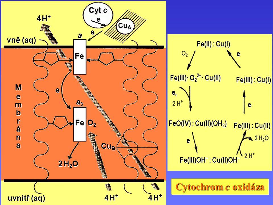 Cytochrom c oxidáza Fe(III)OH – : Cu(II)OH – FeO(IV) : Cu(II)(OH 2 ) e e, e 2 H+2 H+ 2 H+2 H+ 2 H2O 2 H2O Fe(III) : Cu(II) Fe(III) : Cu(I) Fe(II) : Cu(I) e O2O2 Fe(III)· O 2 2– · Cu(II) Cytochrom c oxidáza a e e uvnitř (aq) uvnitř (aq) Membrána vně (aq) vně (aq) 4 H+4 H+4 H+4 H+ 4 H+4 H+4 H+4 H+ 4 H+4 H+4 H+4 H+ Cyt c Cu A O2O2O2O2 e Cu B 2 H2O2 H2O2 H2O2 H2O Fe Fe a3a3a3a3