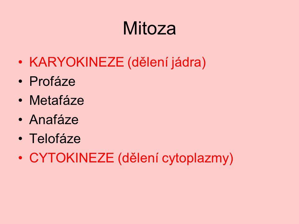 Profáze Spiralizace DNA, rozpad jaderné membrány Autor:LadyofHats, Název:Prophase procariotic mitosis.svg Zdroj:http://www.wikiskripta.eu/index.php/Soubor:Prophase_procariotic_mitosis.svg