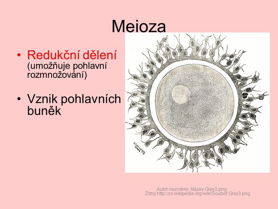 Meioza KARYOKINEZE Heterotypické dělení (redukce počtu chromozomů) –Profáze –Metafáze –Anafáze –Telofáze (následuje cytokineze) Homeotypické dělení –Stejné jako mitosa