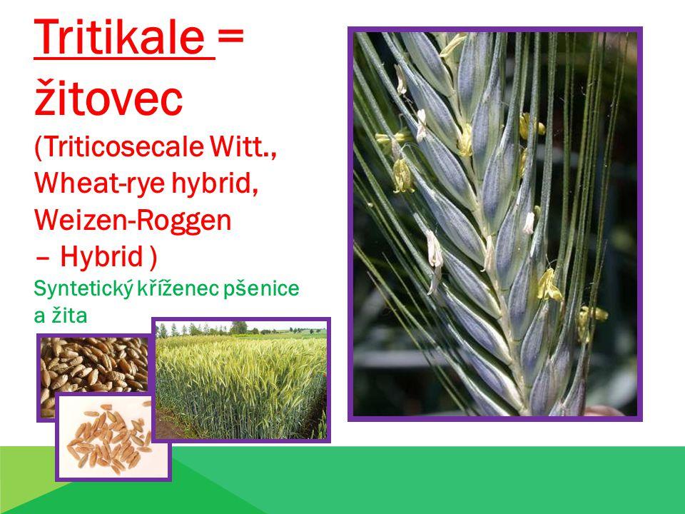 Tritikale = žitovec (Triticosecale Witt., Wheat-rye hybrid, Weizen-Roggen – Hybrid ) Syntetický kříženec pšenice a žita