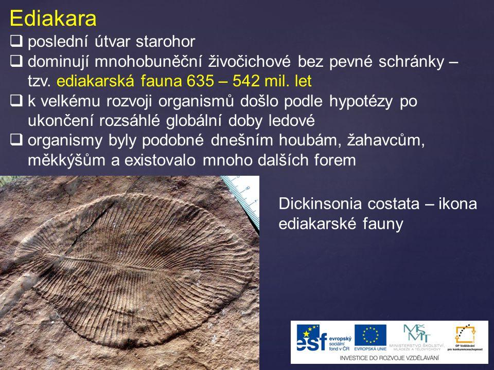 Ediakara  poslední útvar starohor  dominují mnohobuněční živočichové bez pevné schránky – tzv. ediakarská fauna 635 – 542 mil. let  k velkému rozvo
