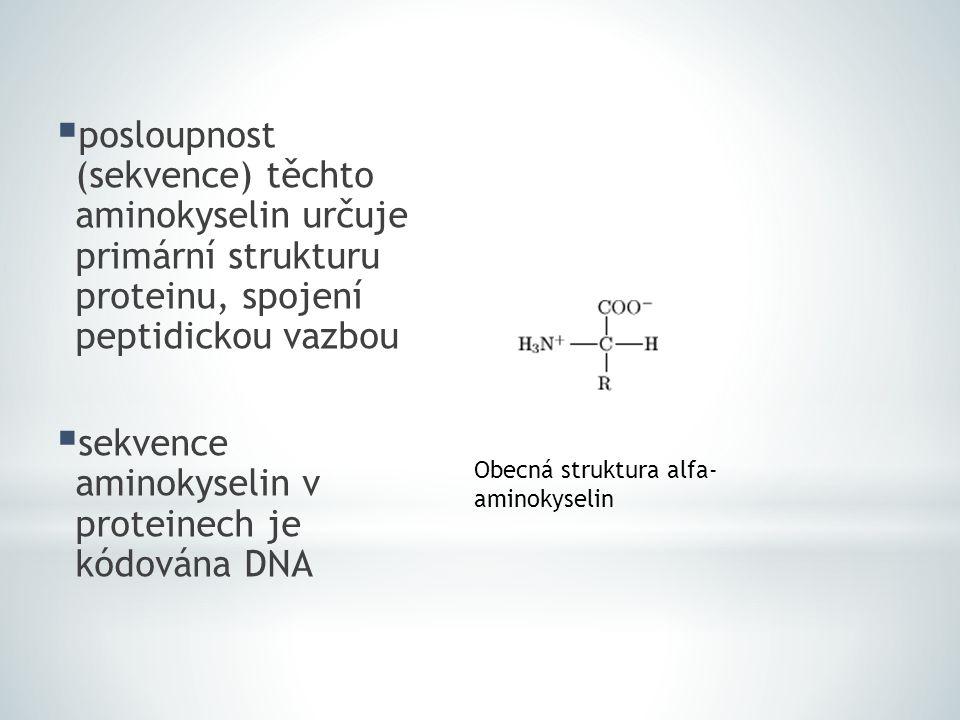  posloupnost (sekvence) těchto aminokyselin určuje primární strukturu proteinu, spojení peptidickou vazbou  sekvence aminokyselin v proteinech je kó
