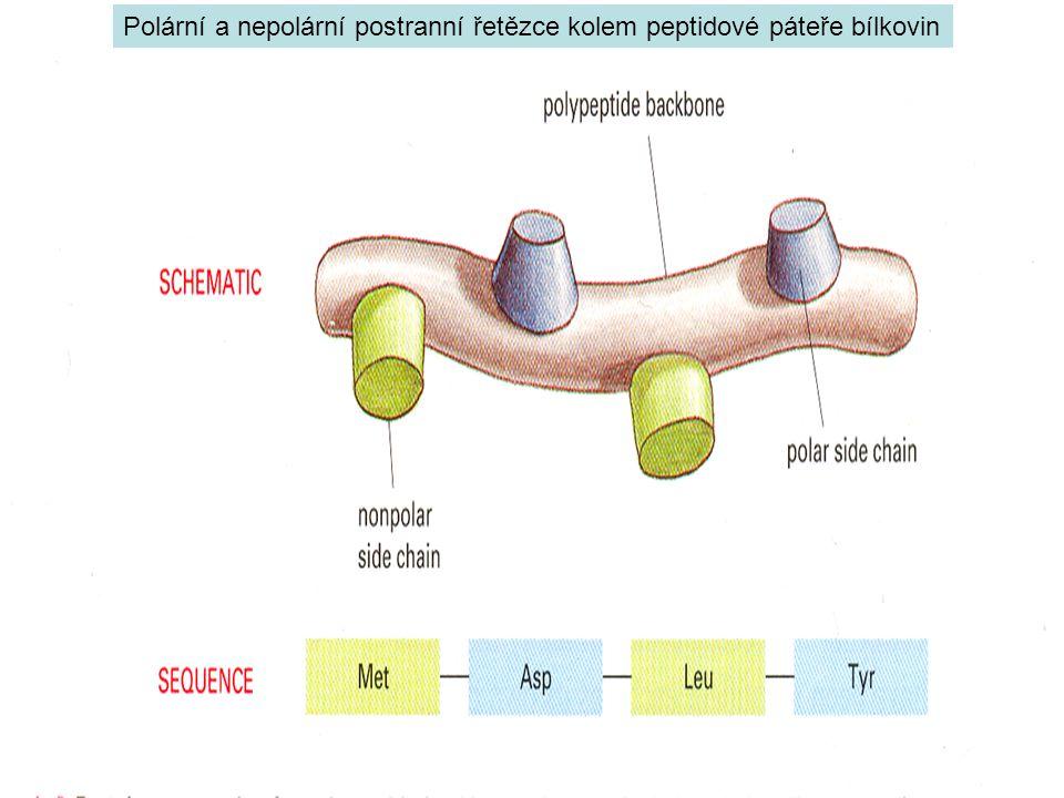 Polární a nepolární postranní řetězce kolem peptidové páteře bílkovin