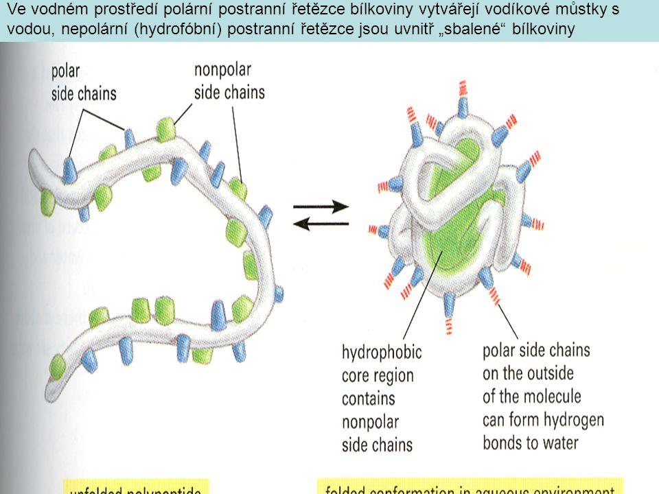 """Ve vodném prostředí polární postranní řetězce bílkoviny vytvářejí vodíkové můstky s vodou, nepolární (hydrofóbní) postranní řetězce jsou uvnitř """"sbale"""