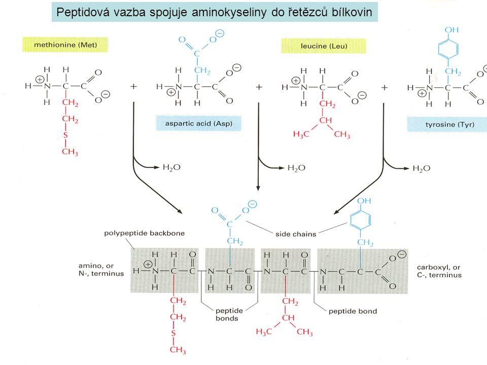 Peptidová vazba spojuje aminokyseliny do řetězců bílkovin