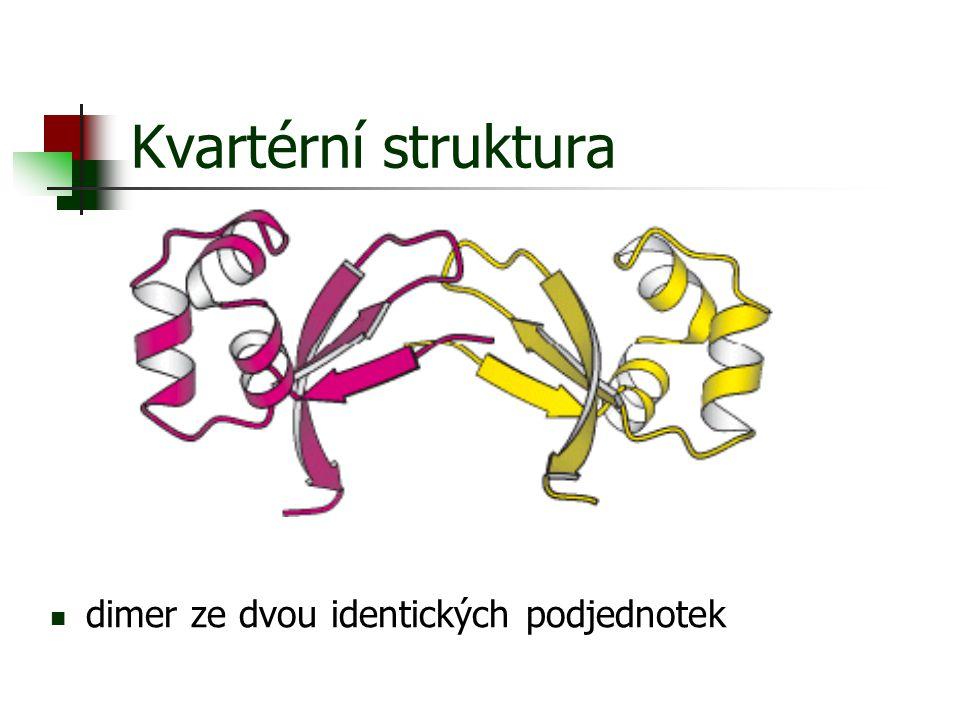 Kvartérní struktura dimer ze dvou identických podjednotek
