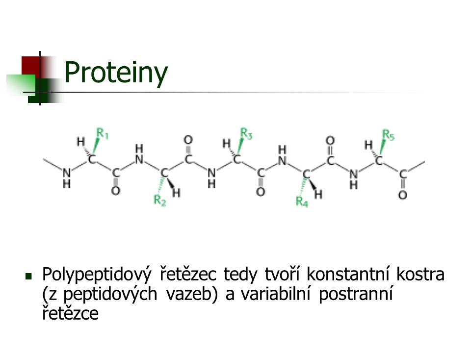 Proteiny Polypeptidový řetězec tedy tvoří konstantní kostra (z peptidových vazeb) a variabilní postranní řetězce