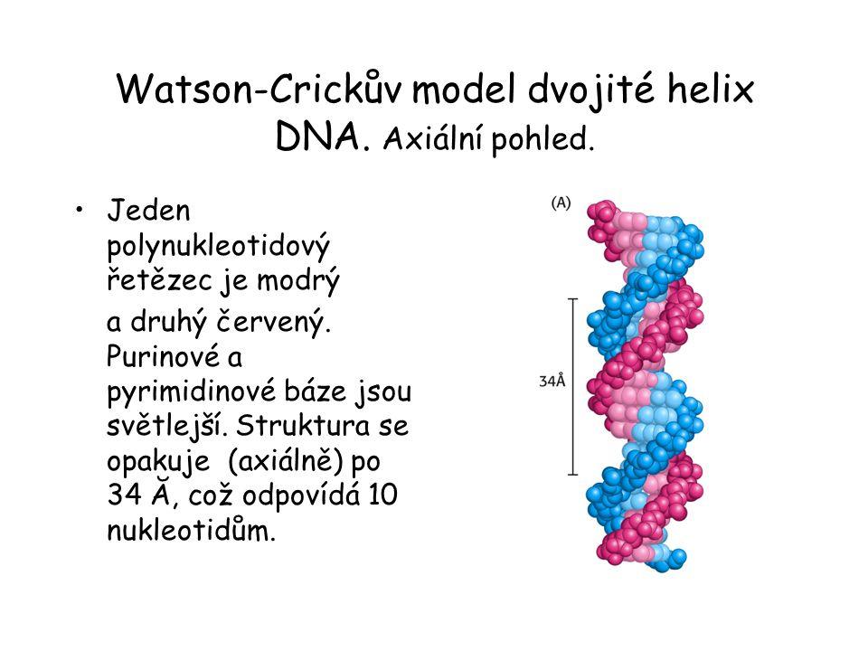 Watson-Crickův model dvojité helix DNA. Axiální pohled. Jeden polynukleotidový řetězec je modrý a druhý červený. Purinové a pyrimidinové báze jsou svě