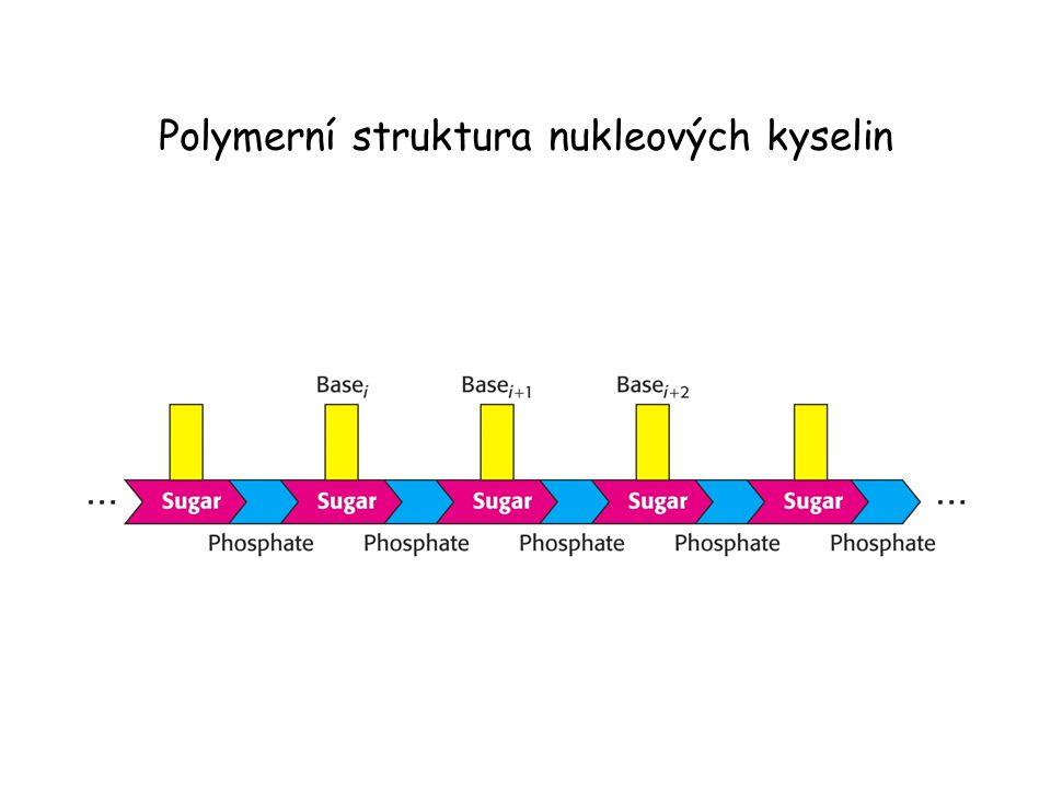 Struktura nukleových kyselin – stonek se smyčkou. (Stem-loop)