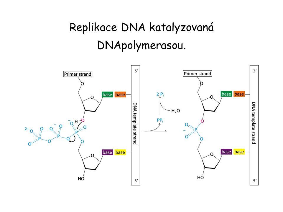 Replikace DNA katalyzovaná DNApolymerasou.