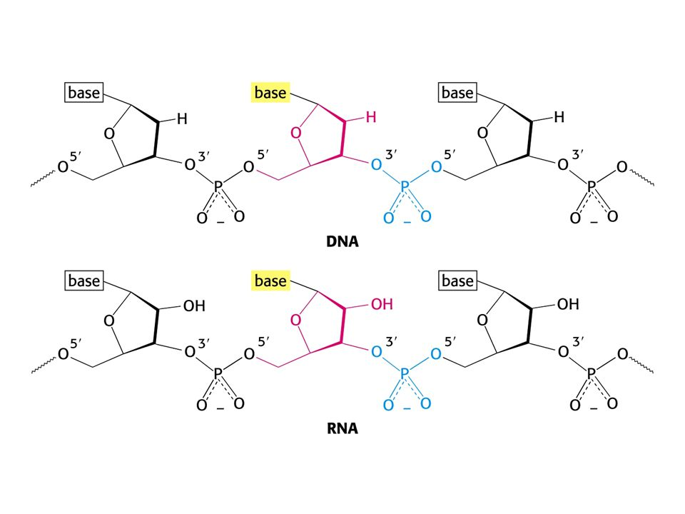 Mnohé geny u eukaryont jsou mozaikou intronů a exonů. Např. gen pro  -globin.