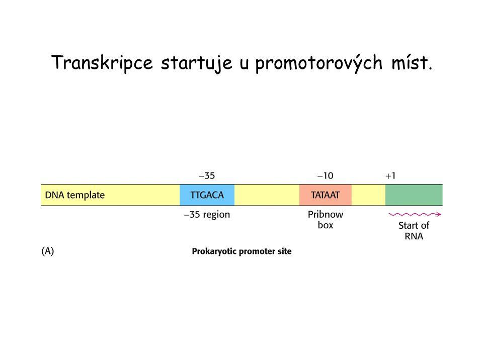 Transkripce startuje u promotorových míst.