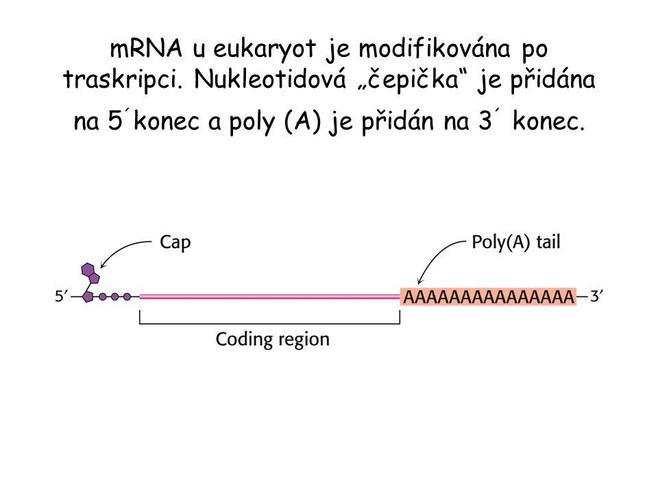 """mRNA u eukaryot je modifikována po traskripci. Nukleotidová """"čepička"""" je přidána na 5 ´ konec a poly (A) je přidán na 3 ´ konec."""