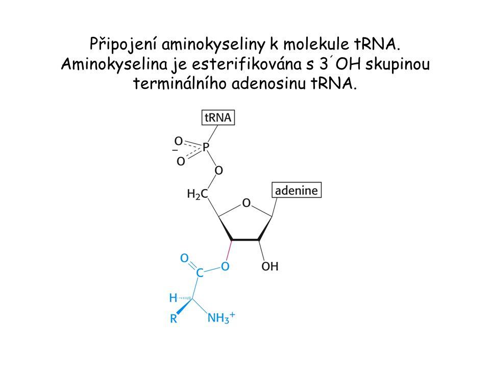 Připojení aminokyseliny k molekule tRNA. Aminokyselina je esterifikována s 3 ´ OH skupinou terminálního adenosinu tRNA.