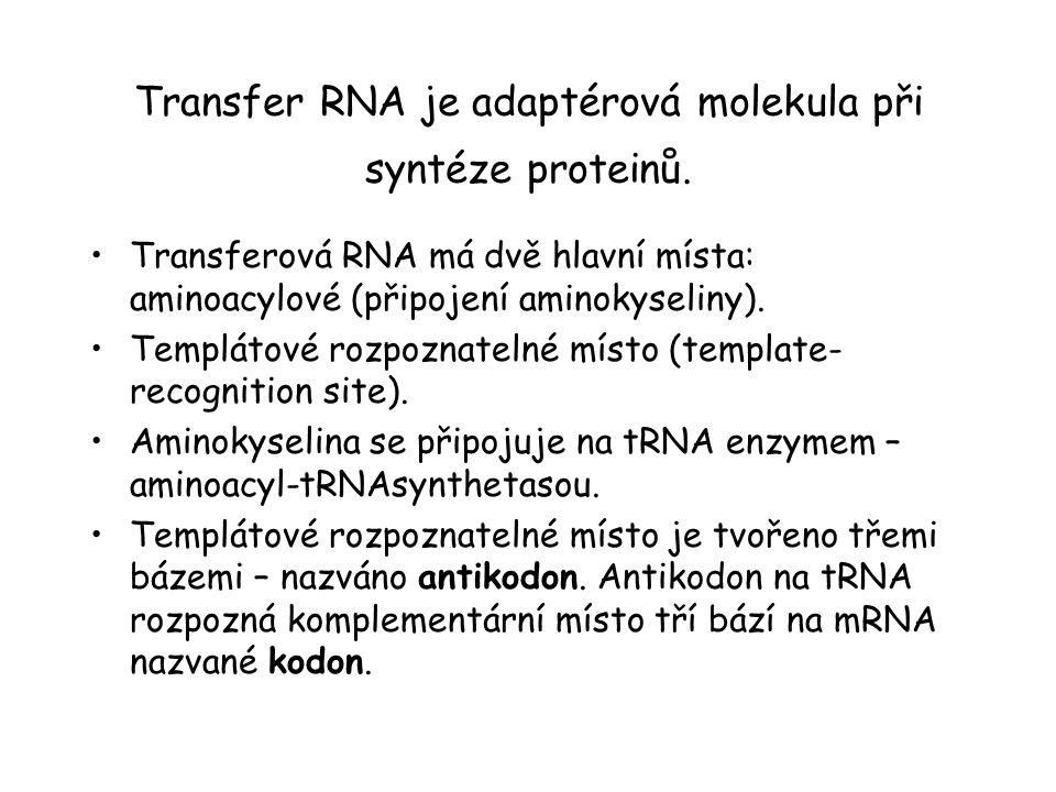 Transfer RNA je adaptérová molekula při syntéze proteinů. Transferová RNA má dvě hlavní místa: aminoacylové (připojení aminokyseliny). Templátové rozp