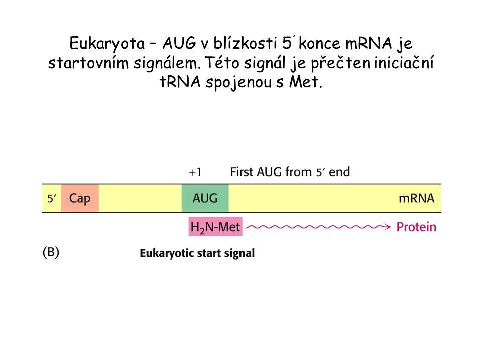 Eukaryota – AUG v blízkosti 5 ´ konce mRNA je startovním signálem. Této signál je přečten iniciační tRNA spojenou s Met.