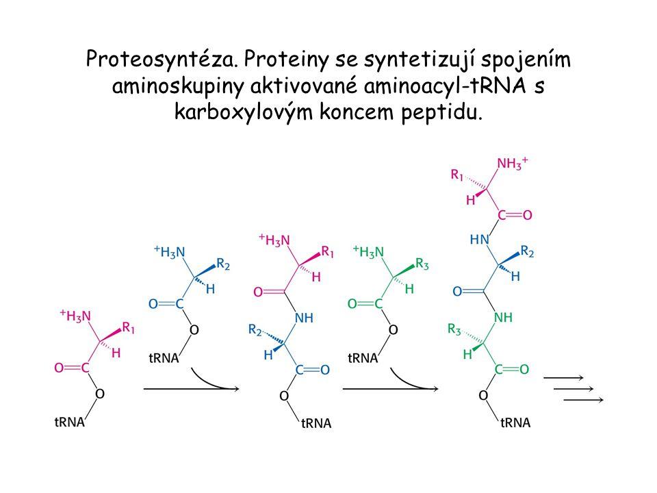 Proteosyntéza. Proteiny se syntetizují spojením aminoskupiny aktivované aminoacyl-tRNA s karboxylovým koncem peptidu.