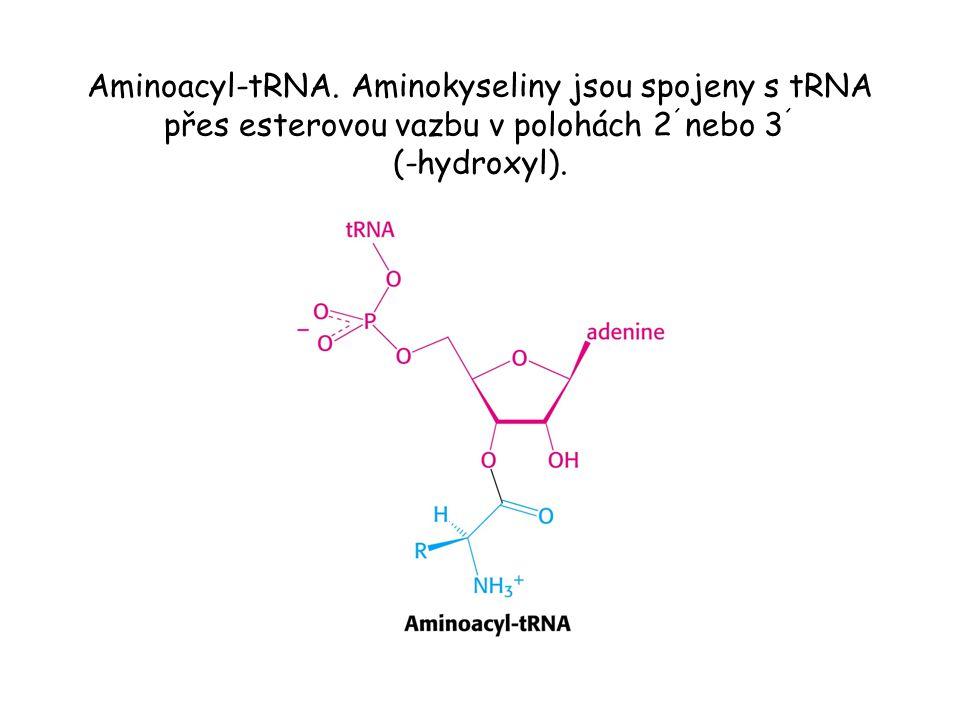 Aminoacyl-tRNA. Aminokyseliny jsou spojeny s tRNA přes esterovou vazbu v polohách 2 ´ nebo 3 ´ (-hydroxyl).