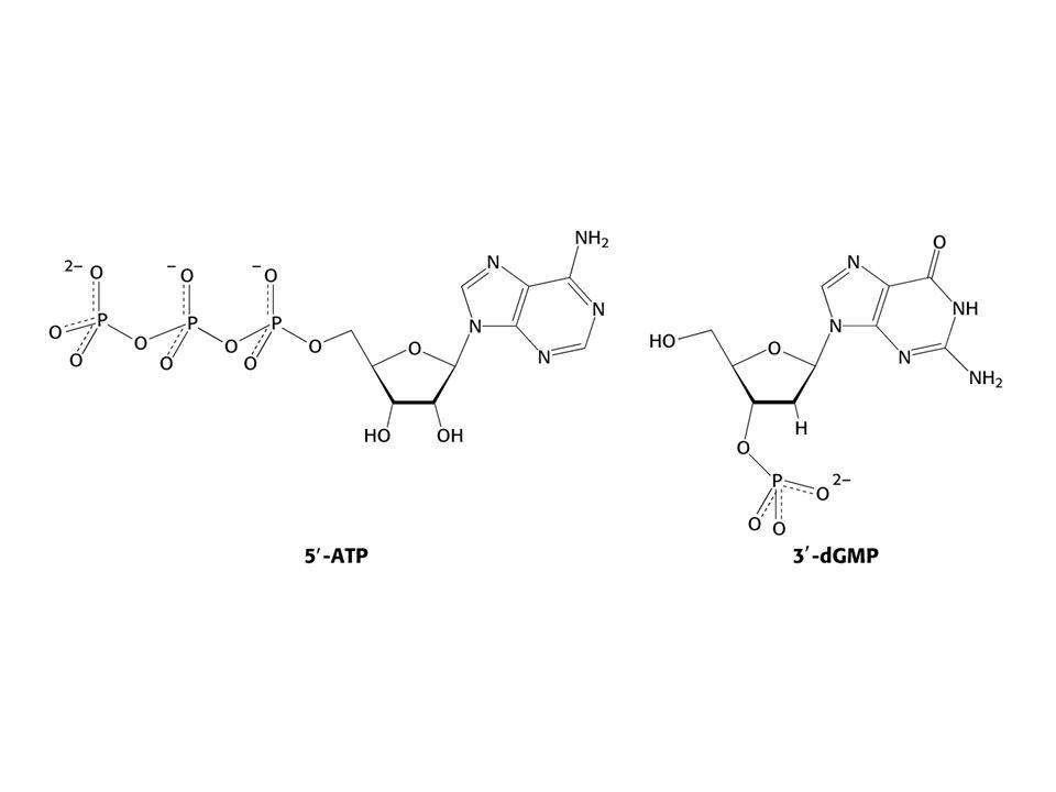 Tvar ribosomu. Spojení velké podjednotky (1) s malou podjednotkou (2).