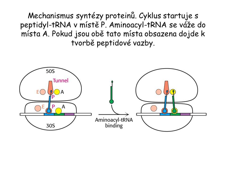 Mechanismus syntézy proteinů. Cyklus startuje s peptidyl-tRNA v místě P. Aminoacyl-tRNA se váže do místa A. Pokud jsou obě tato místa obsazena dojde k