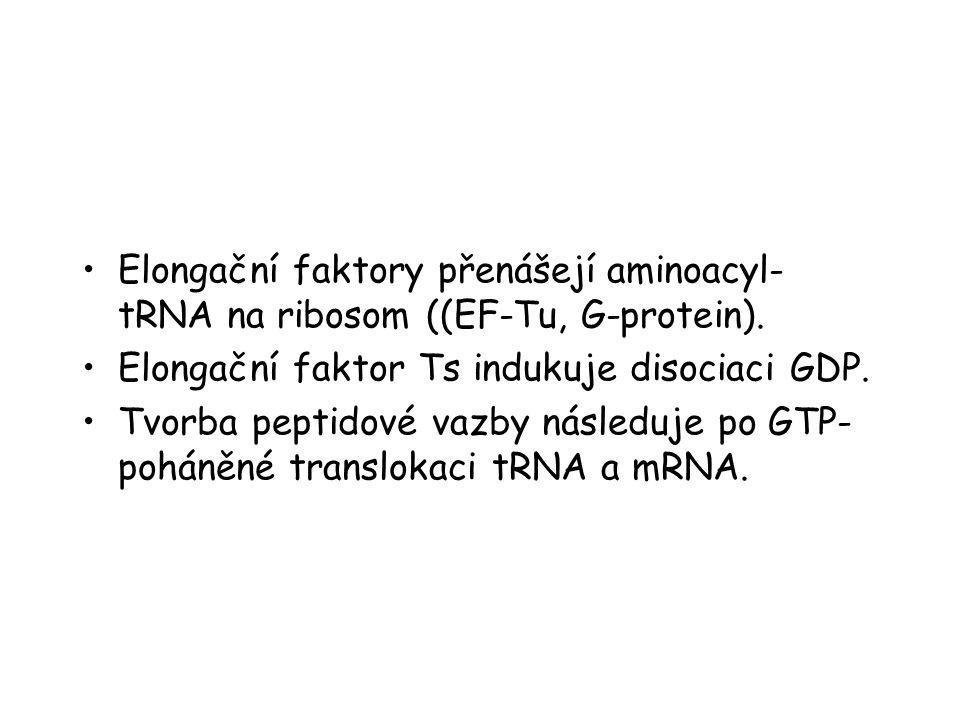 Elongační faktory přenášejí aminoacyl- tRNA na ribosom ((EF-Tu, G-protein). Elongační faktor Ts indukuje disociaci GDP. Tvorba peptidové vazby následu