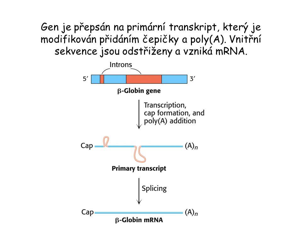 Gen je přepsán na primární transkript, který je modifikován přidáním čepičky a poly(A). Vnitřní sekvence jsou odstřiženy a vzniká mRNA.