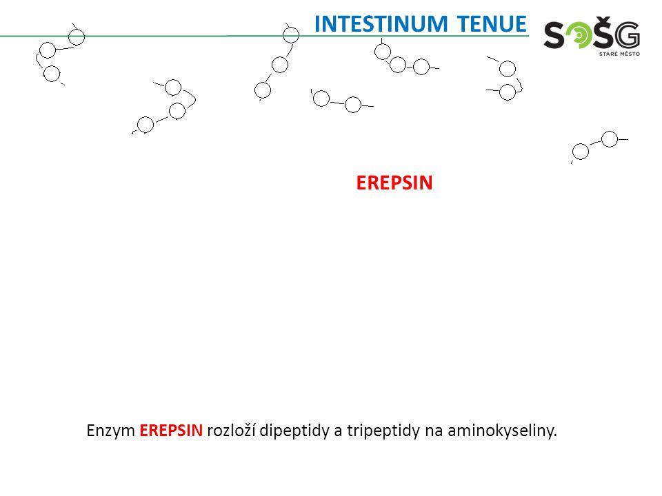 Enzym EREPSIN rozloží dipeptidy a tripeptidy na aminokyseliny. INTESTINUM TENUE EREPSIN