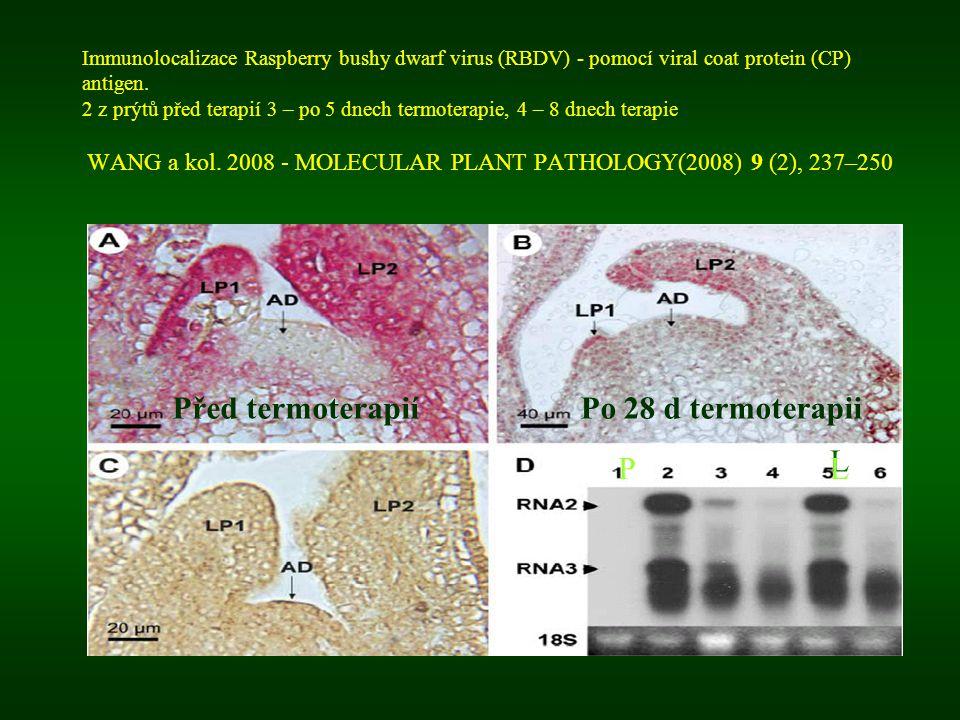 Immunolocalizace Raspberry bushy dwarf virus (RBDV) - pomocí viral coat protein (CP) antigen. 2 z prýtů před terapií 3 – po 5 dnech termoterapie, 4 –