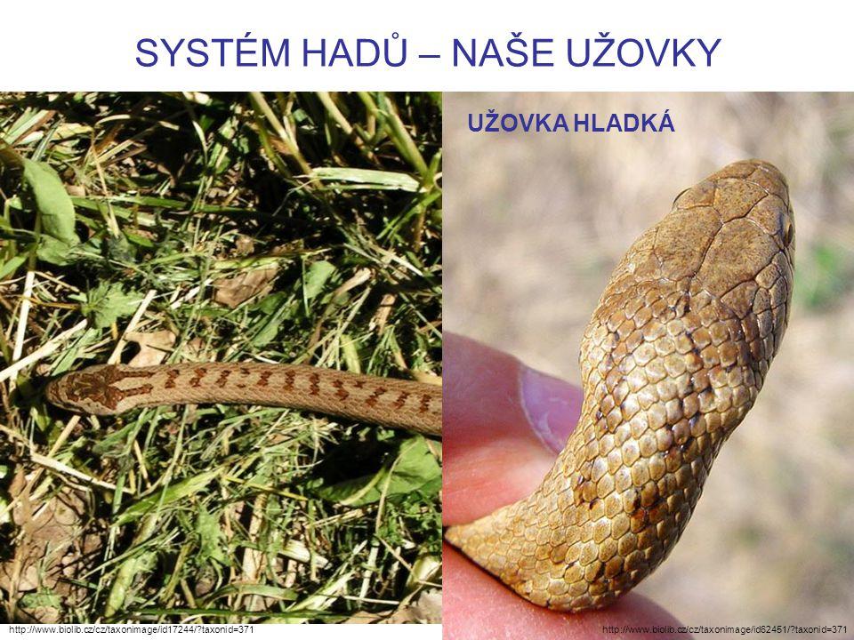 SYSTÉM HADŮ – NAŠE UŽOVKY http://www.biolib.cz/cz/taxonimage/id17244/ taxonid=371 UŽOVKA HLADKÁ http://www.biolib.cz/cz/taxonimage/id62451/ taxonid=371