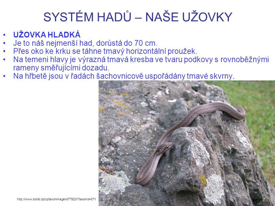 SYSTÉM HADŮ – NAŠE UŽOVKY UŽOVKA HLADKÁ Je to náš nejmenší had, dorůstá do 70 cm.