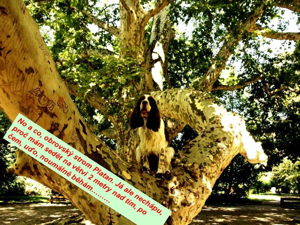 No a co, obrovský strom Platan. Já ale nechápu, proč mám sedět na větvi 2 metry nad tím, po čem, uďo, noumálně běhám………