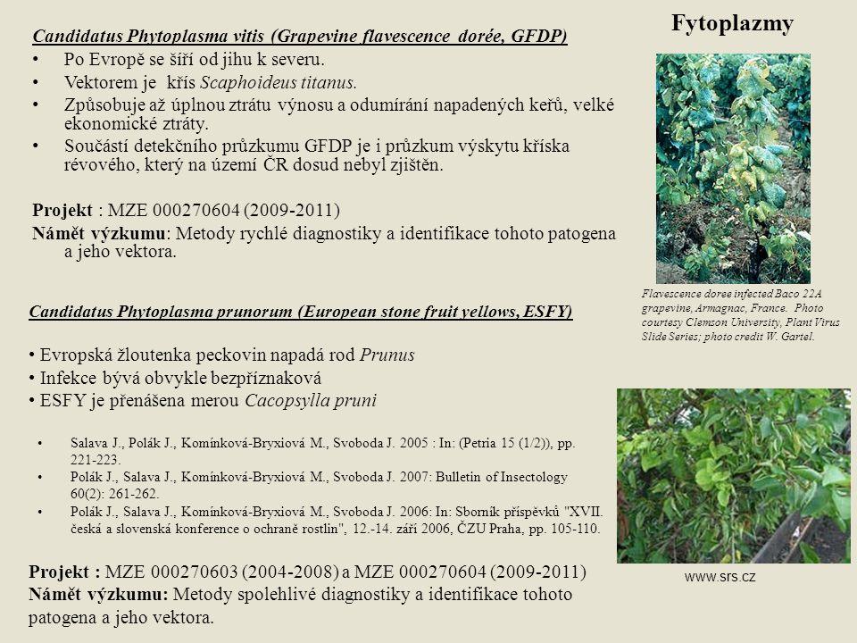 Little cherry disease (LCD; Little cherry virus 1, 2) Výskyt na kulturních a okrasných druzích třešní a višní.