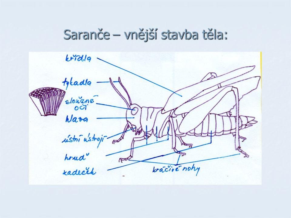 Saranče – vnější stavba těla: