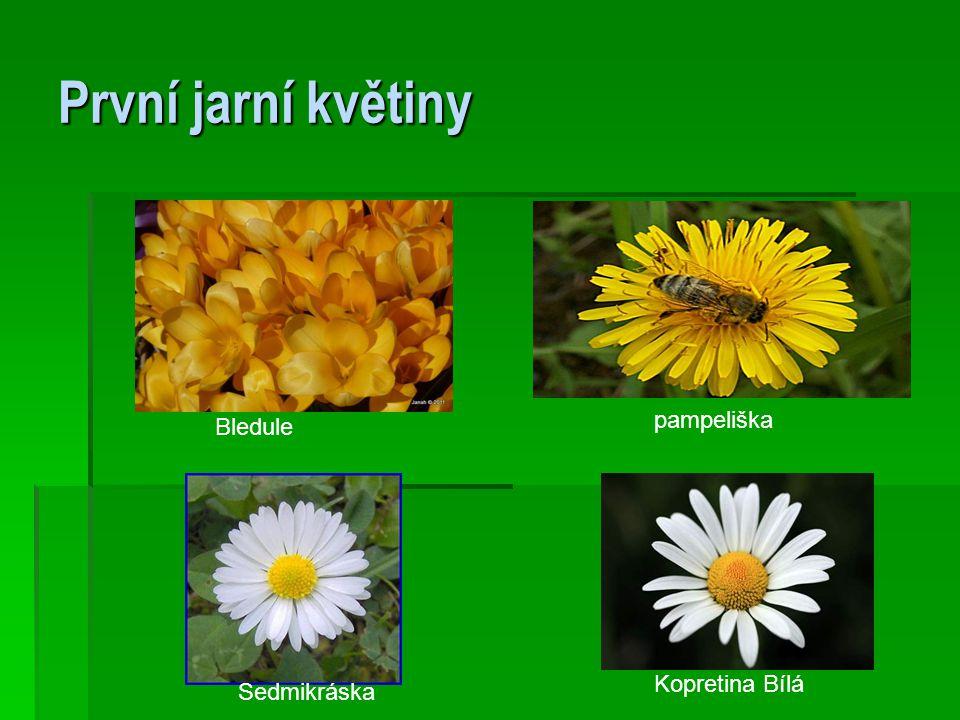 První jarní květiny Kopretina Bílá pampeliška Sedmikráska Bledule