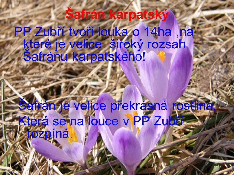 Šafrán karpatský PP Zubří tvoří louka o 14ha,na které je velice široký rozsah Šafránu karpatského.