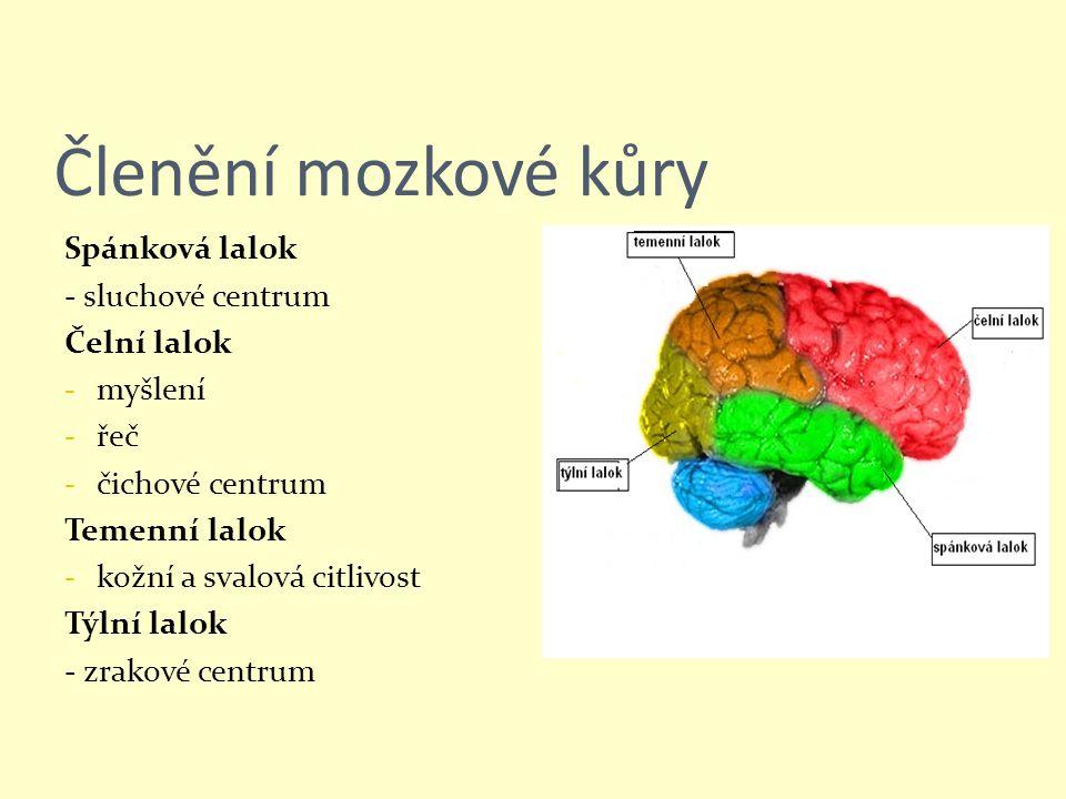 Členění mozkové kůry Spánková lalok - sluchové centrum Čelní lalok - myšlení - řeč - čichové centrum Temenní lalok - kožní a svalová citlivost Týlní l