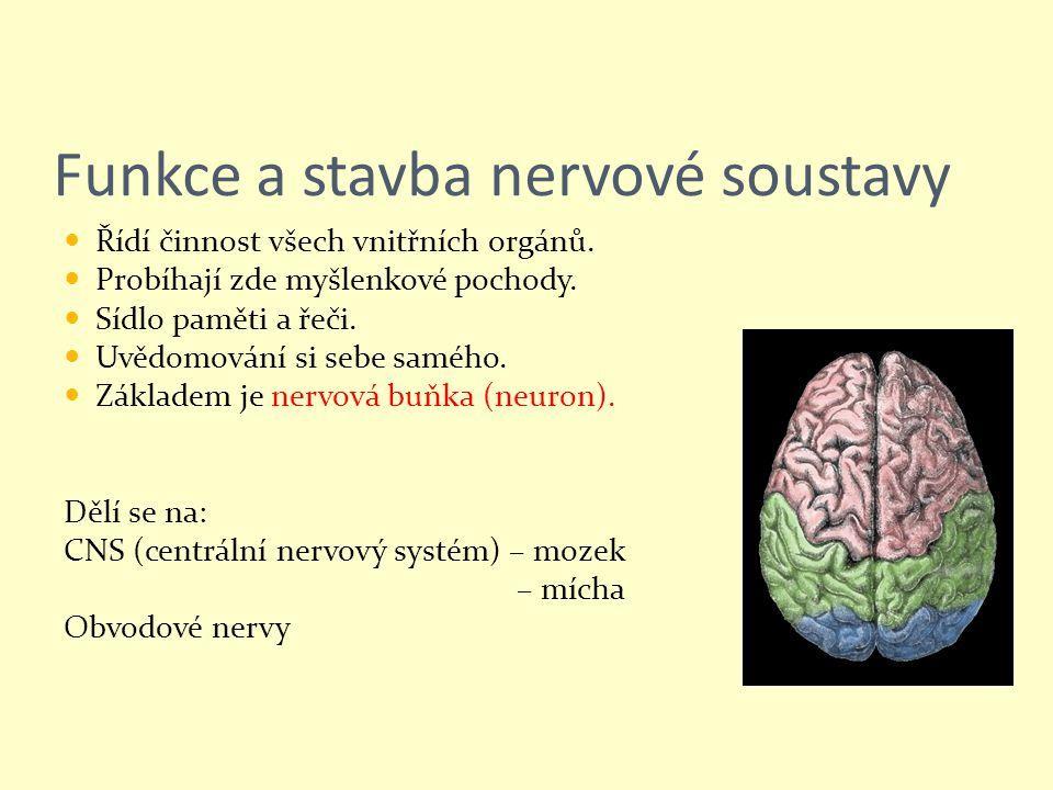 Funkce a stavba nervové soustavy Řídí činnost všech vnitřních orgánů. Probíhají zde myšlenkové pochody. Sídlo paměti a řeči. Uvědomování si sebe saméh