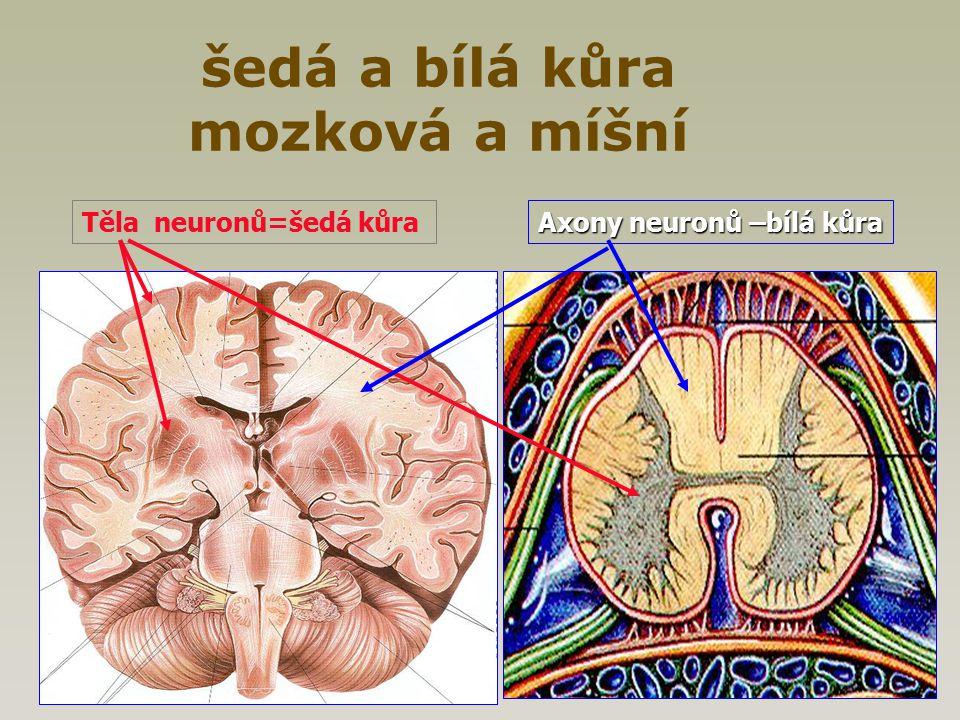 šedá a bílá kůra mozková a míšní Těla neuronů=šedá kůra Axony neuronů –bílá kůra