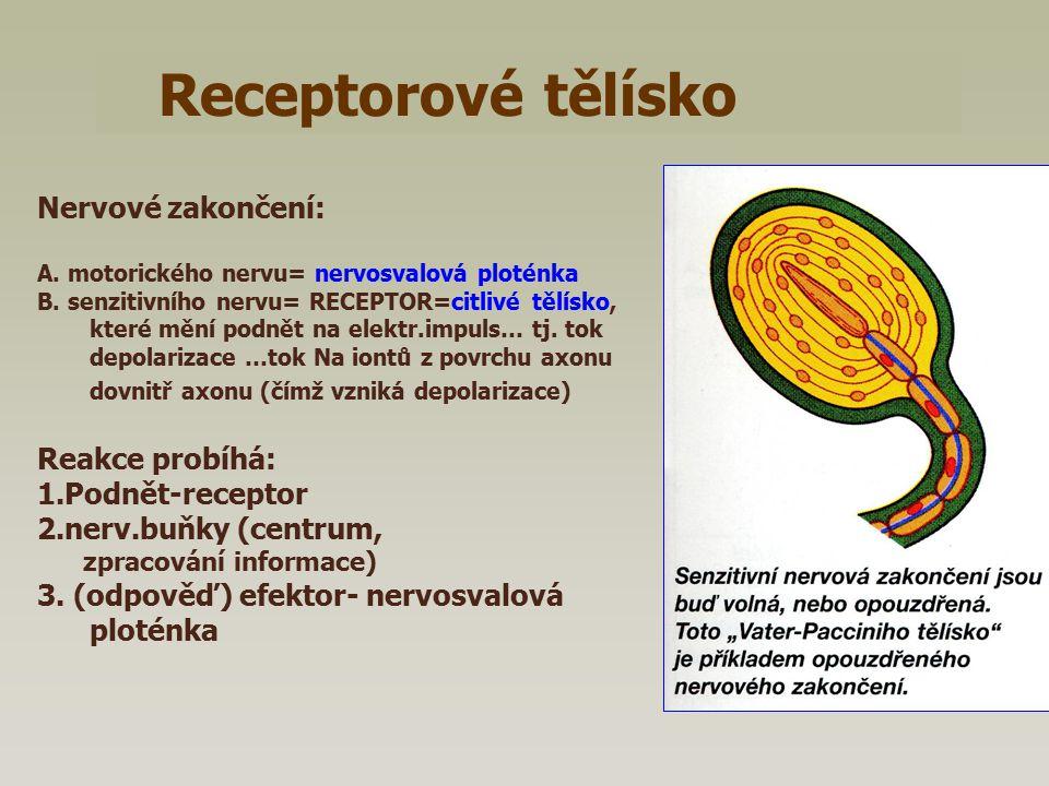Receptorové tělísko Nervové zakončení: A. motorického nervu= nervosvalová ploténka B. senzitivního nervu= RECEPTOR=citlivé tělísko, které mění podnět