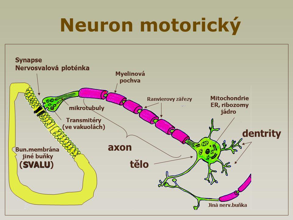 Neuron motorický Jiná nerv.buňka Ranvierovy zářezy Transmitéry (ve vakuolách) mikrotubuly dentrity axon Myelinová pochva Mitochondrie ER, ribozomy jád