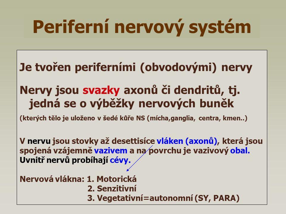 Periferní nervový systém Je tvořen periferními (obvodovými) nervy Nervy jsou svazky axonů či dendritů, tj. jedná se o výběžky nervových buněk (kterých