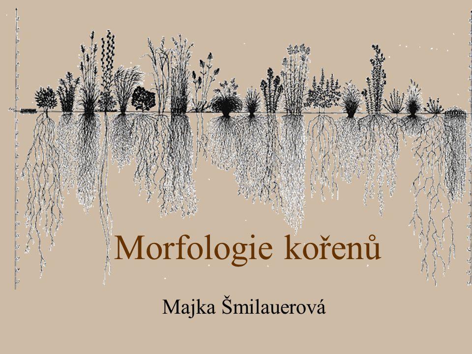 Morfologie kořenů Majka Šmilauerová